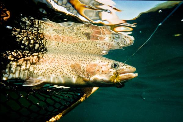 Colorado Trout Species
