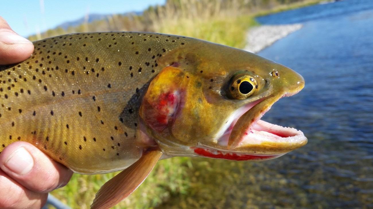 cutthroat-trout