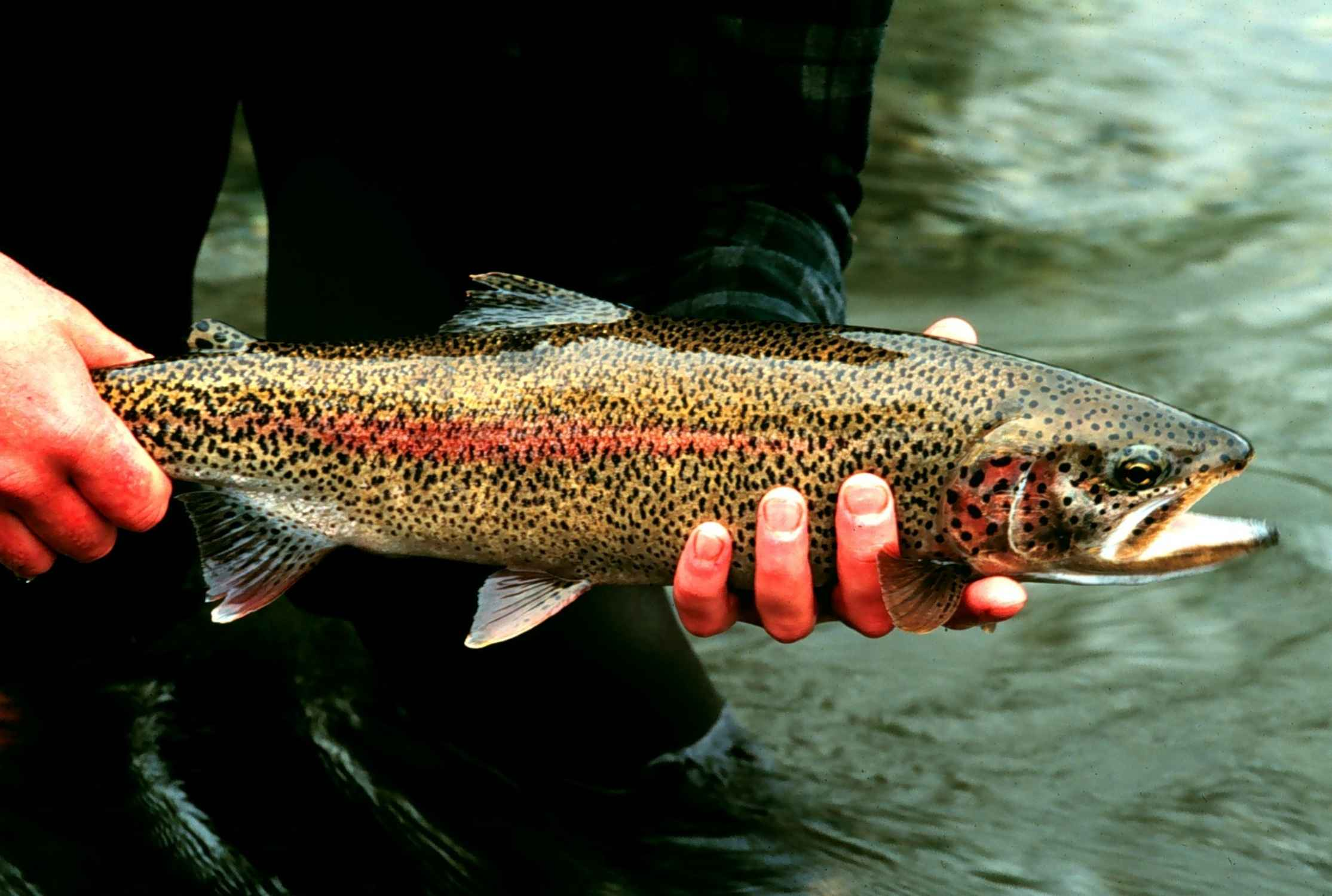 colorado trout species | gold medal colorado trout | ken's anglers, Fly Fishing Bait